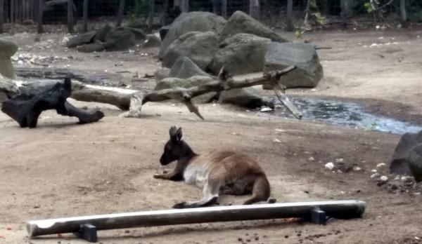 """""""Tie me kangaroo down mate"""""""
