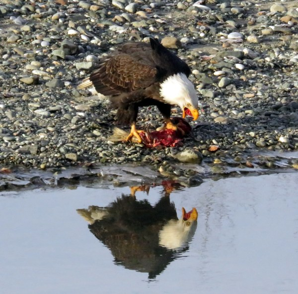 eagle eating and refelction 3