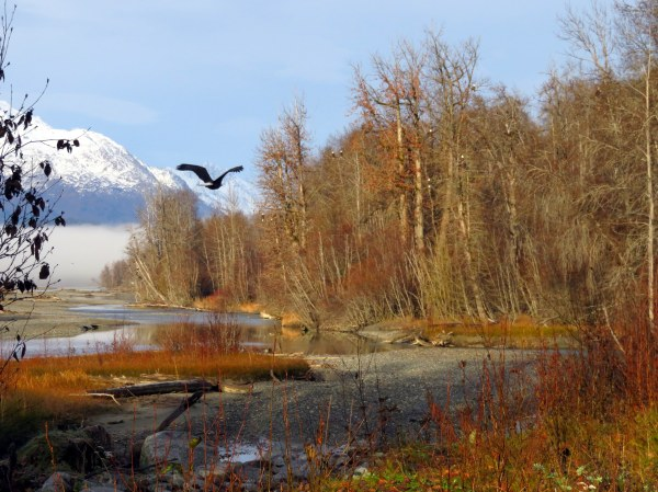 Chilkat River during eagle festival